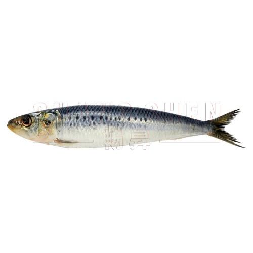 Sardine 沙丁鱼  5 pcs   250 gm/pkt